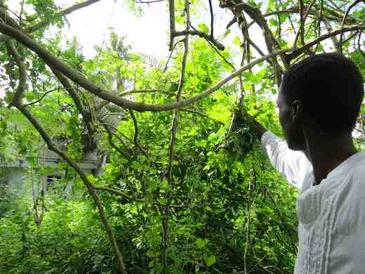 Picking Malunggay (Moringa) growing fresh, raw and wild