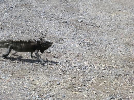 iguanas on St. Thomas