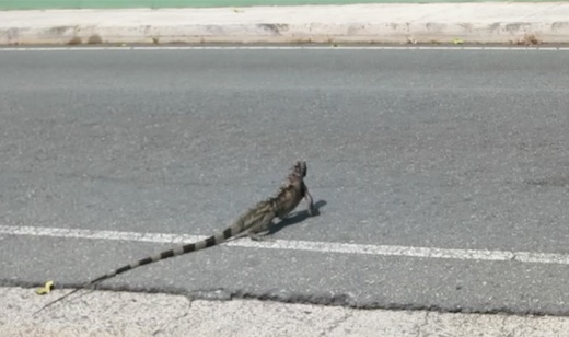 iguanas on St. Thomas
